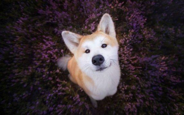 Animal Shiba Inu Dogs Dog Stare Muzzle HD Wallpaper   Background Image