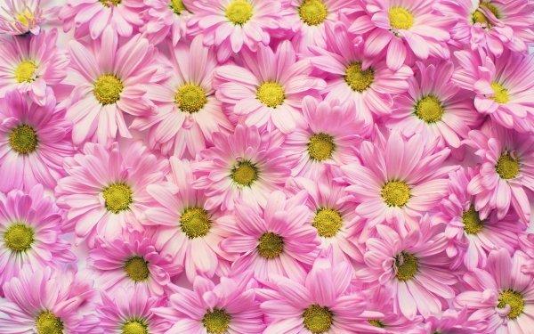 Earth Flower Flowers Chrysanthemum Pink Flower HD Wallpaper   Background Image
