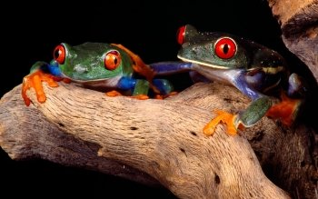 Animal - Frog Wallpapers and Backgrounds ID : 81311