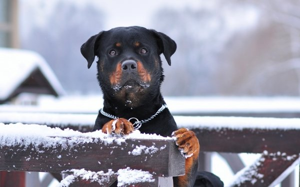 Animal Rottweiler Dogs Dog Fence Winter Snow Muzzle HD Wallpaper | Background Image