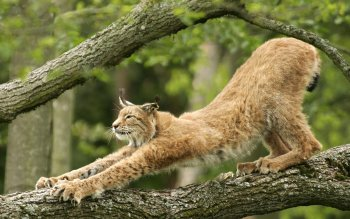 Animal - Lynx Wallpapers and Backgrounds ID : 81481