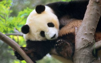 Animal - Panda Wallpapers and Backgrounds ID : 81743