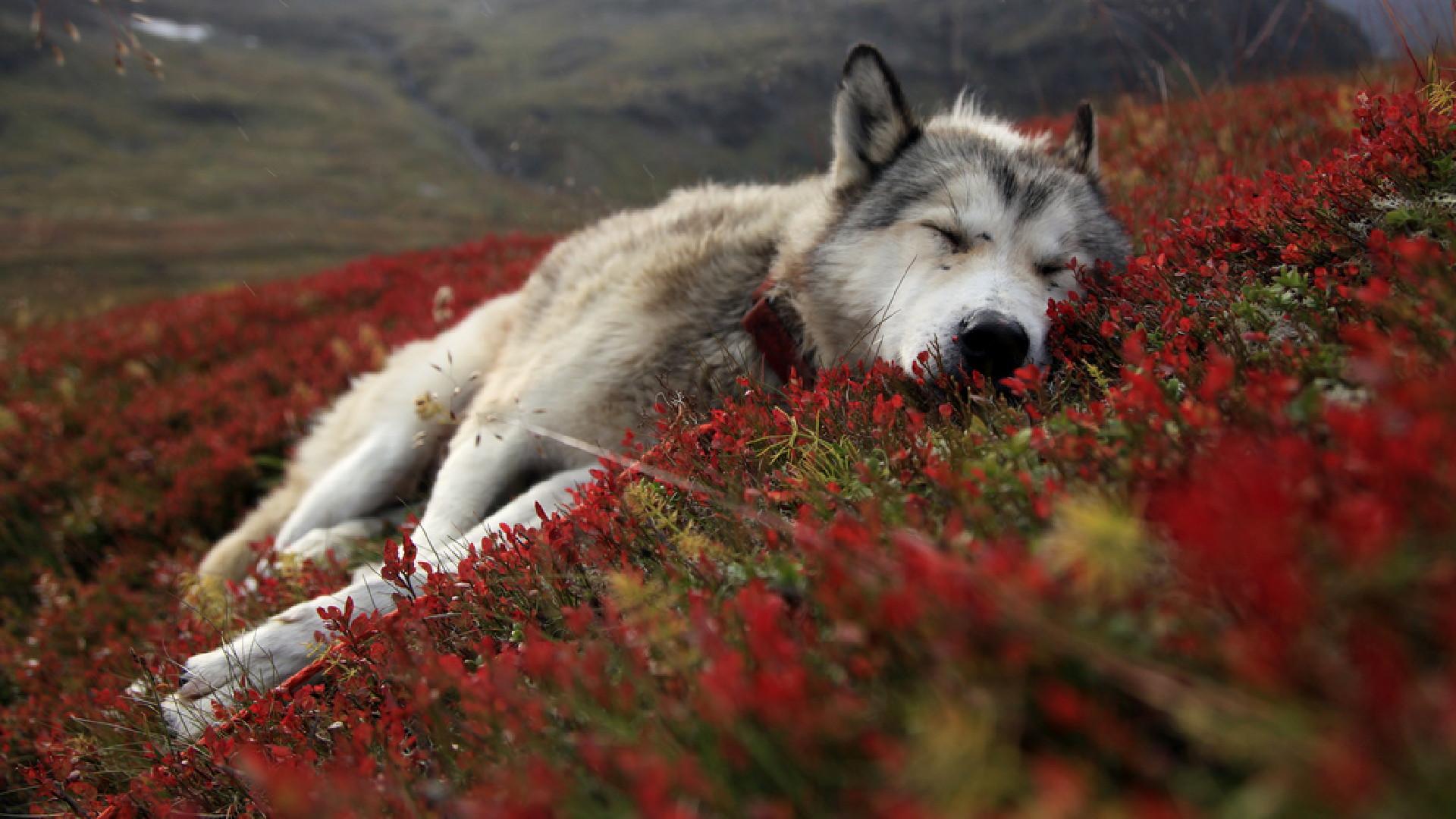 Dierenrijk - Wolf  - Lob - Canine - Wild - Alaska - Tundra - Hond - Battleship - Dierenrijk Achtergrond