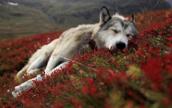 Animal - Wolf Wallpapers and Backgrounds ID : 81821
