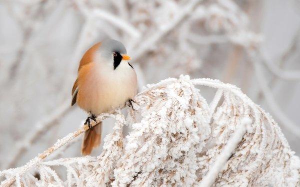 Animal Bearded reedling Birds Passerines Bird Passerine Winter Frost Wildlife Branch Snow HD Wallpaper | Background Image
