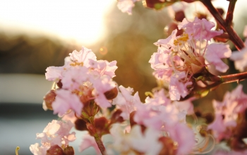 Tierra - Blossom Wallpapers and Backgrounds ID : 82161