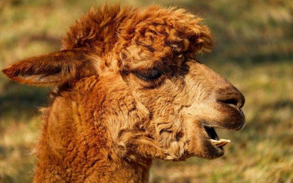 Animal Alpaca Close-Up HD Wallpaper | Background Image