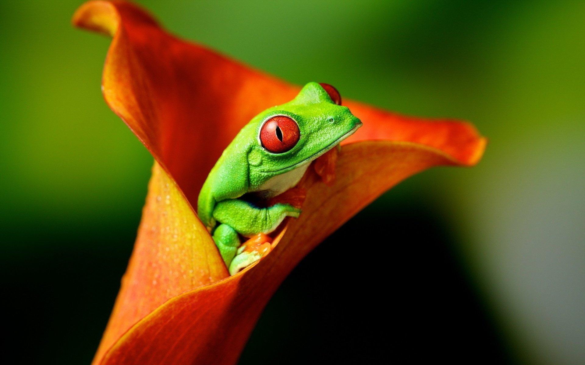 Animal - Red Eyed Tree Frog  Animal Red-Eyed Tree Frog Tree Frog Frog Flower Calla Lily Orange Flower Wallpaper