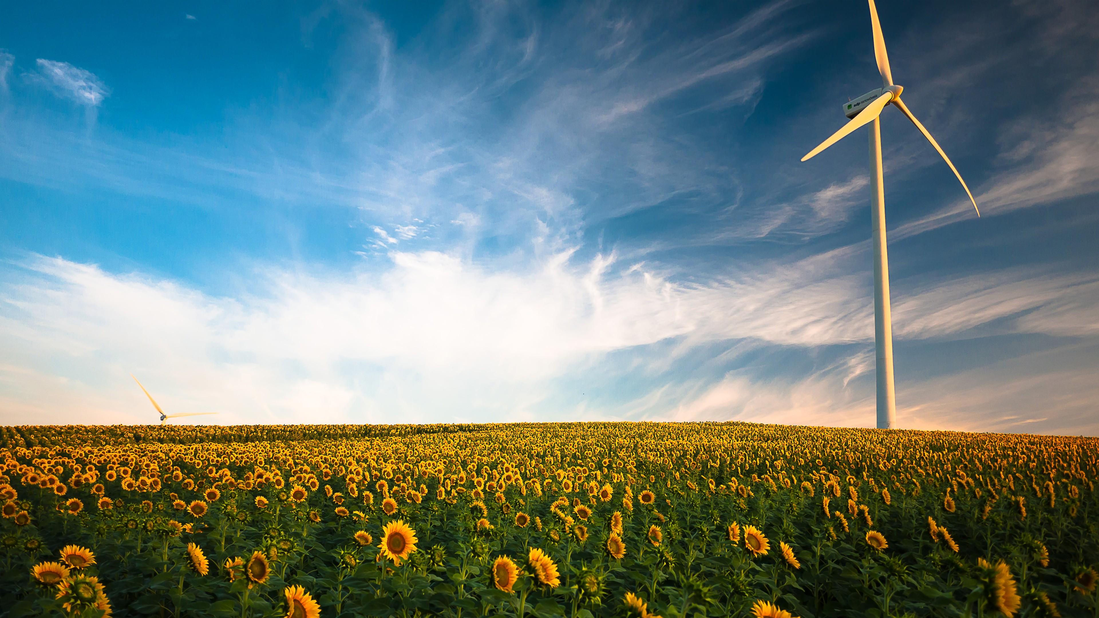 Sunflower fields wallpaper