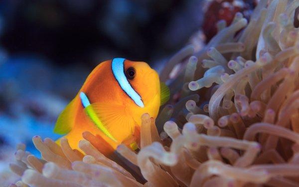 Animal Clownfish Fishes Fish Sea Anemone HD Wallpaper | Background Image