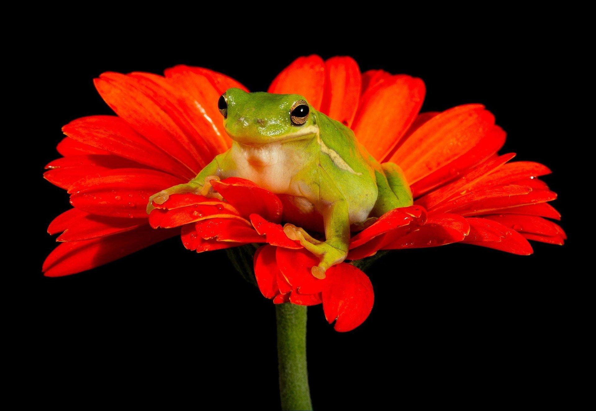 Animal - Tree Frog  Animal Frog Flower Gerbera Orange Flower Amphibian Wallpaper