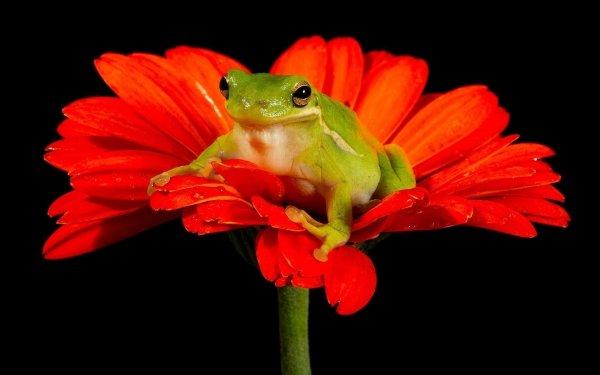 Animal Tree Frog Frogs Frog Flower Gerbera Amphibian Orange Flower HD Wallpaper | Background Image