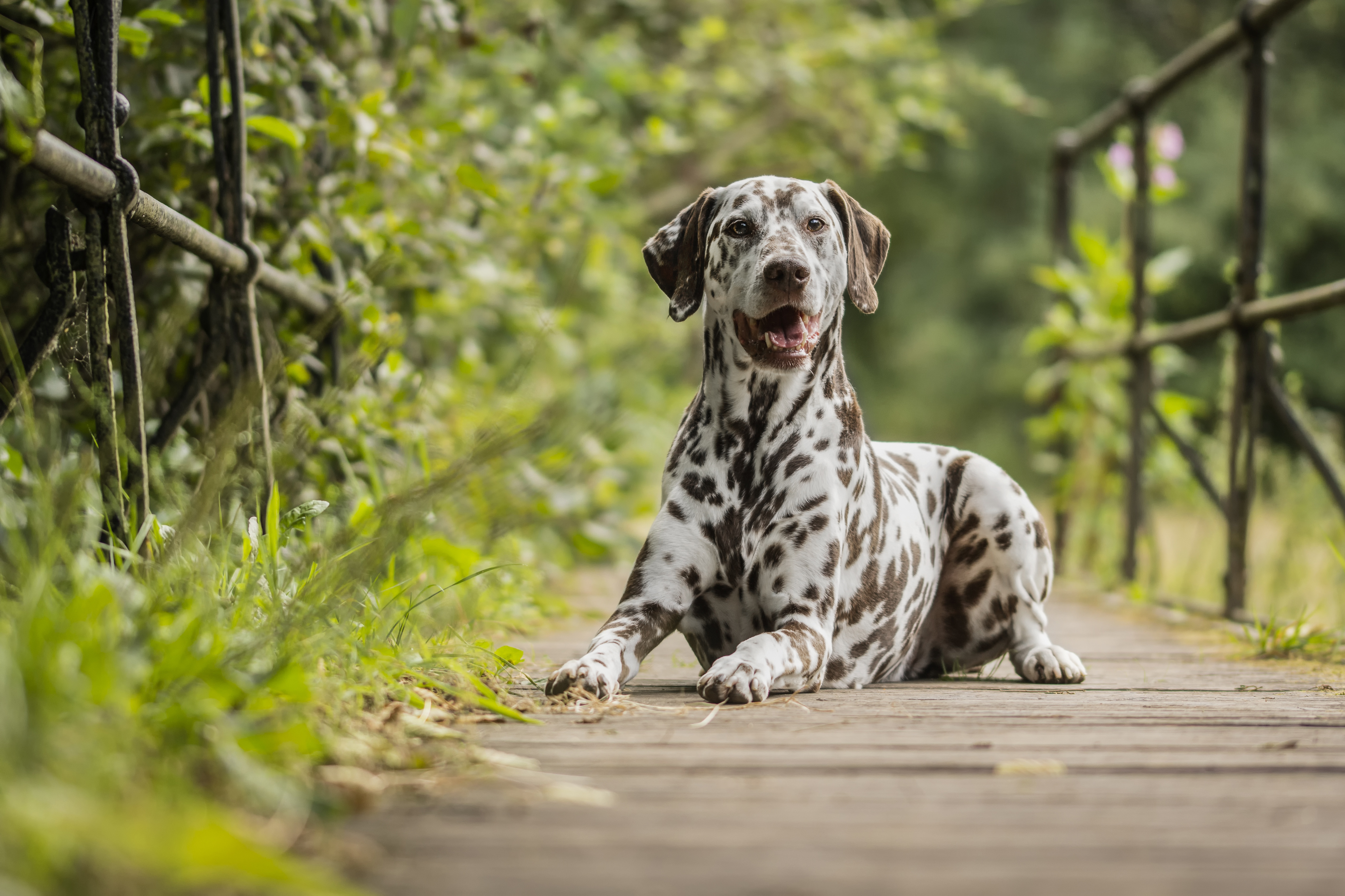 Liver Spotted Dalmatian 5k Retina Ultra HD Wallpaper And Background