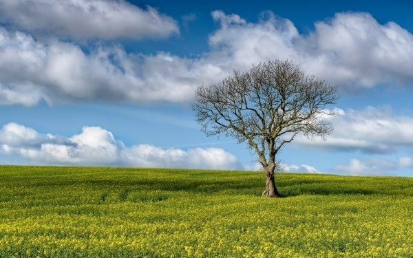 Earth Tree Trees Nature Lonely Tree Cloud Sky Rapeseed HD Wallpaper   Background Image