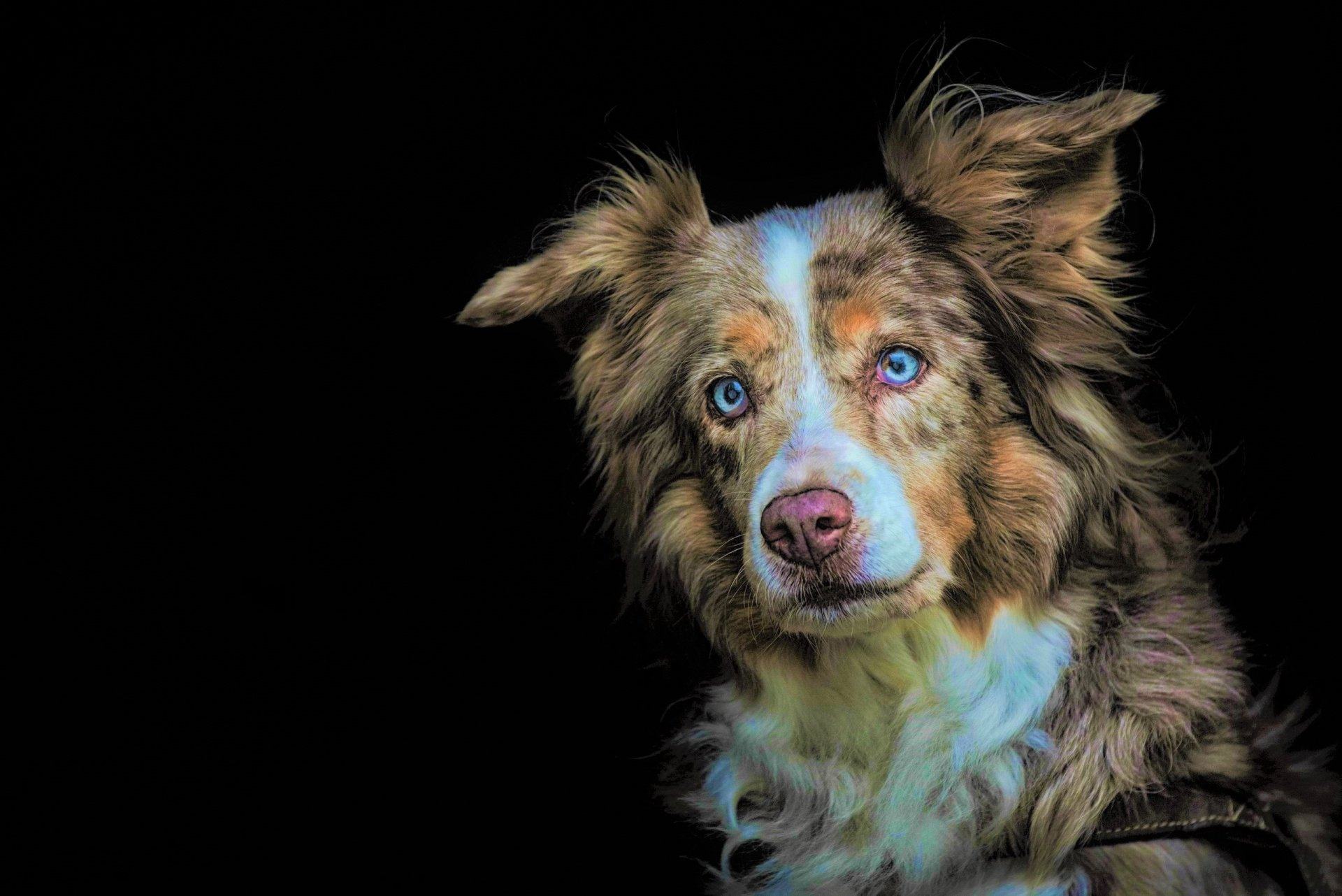 Animal - Australian Shepherd  Animal Dog Muzzle Blue Eyes Wallpaper