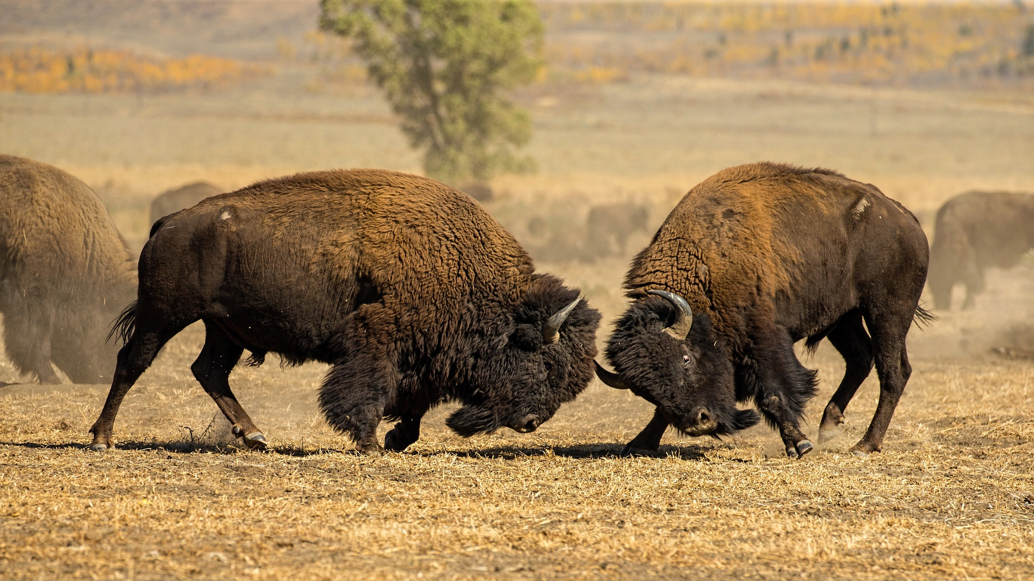 American Bison HD Wallpaper | Background Image | 2048x1152 ...