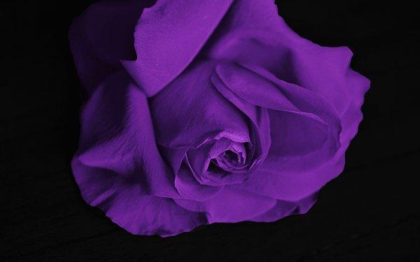 Earth Rose Flowers Flower Purple Rose Purple Flower HD Wallpaper   Background Image