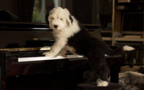 Animal Old English Sheepdog Dogs Puppy Dog Piano Baby Animal Pet HD Wallpaper | Background Image