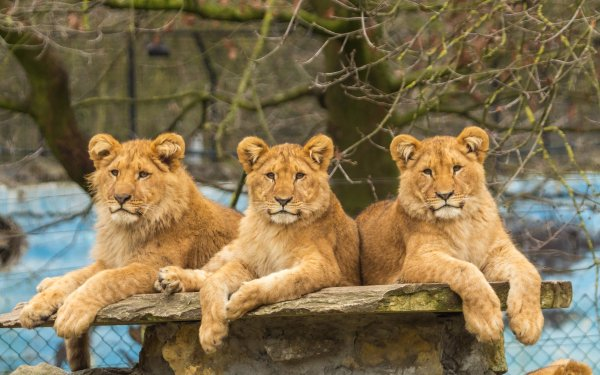 Animal Lion Cats Big Cat Zoo predator Resting Baby Animal HD Wallpaper | Background Image