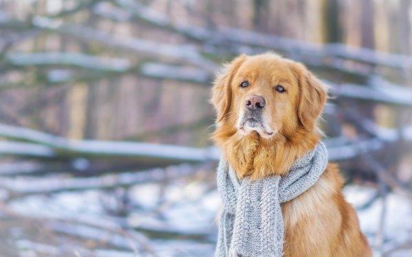 Animal Golden Retriever Dogs Dog Pet Winter Scarf Depth Of Field HD Wallpaper   Background Image