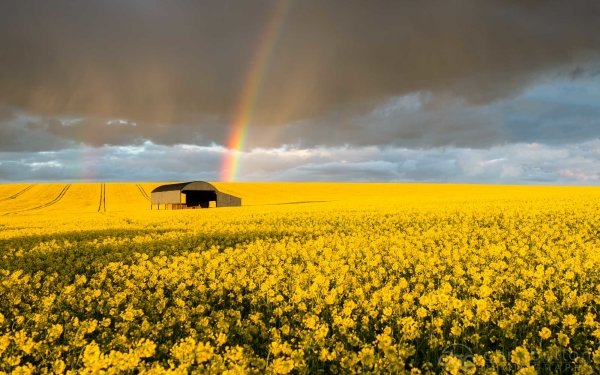 Earth Rainbow Field Rapeseed Yellow Flower Summer Barn HD Wallpaper | Background Image