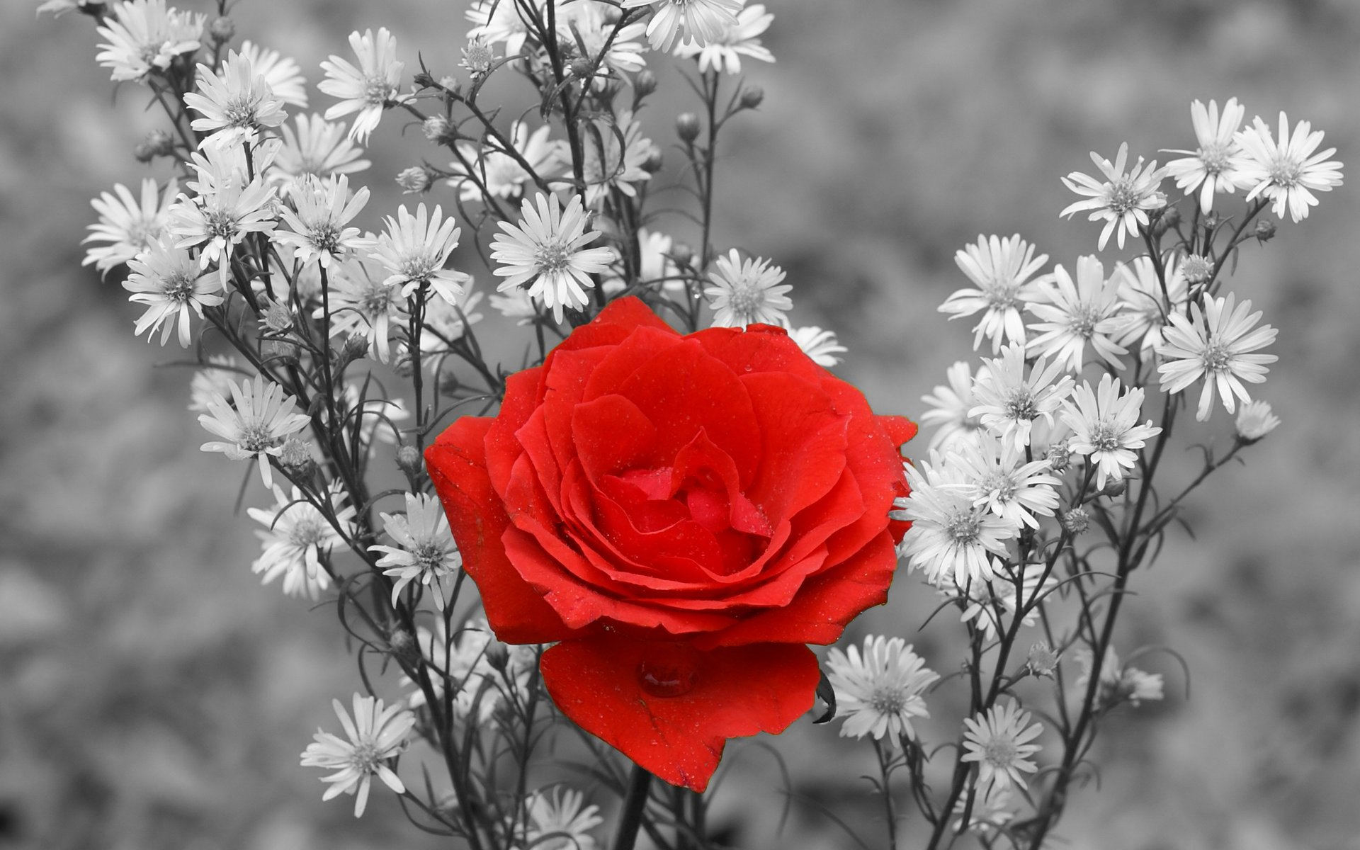 Earth - Rose  Red Red Rose Photography Beautiful Nature Flower Wallpaper