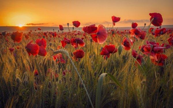 Earth Poppy Flowers Nature Flower Wheat Summer Field Sunrise Red Flower HD Wallpaper   Background Image