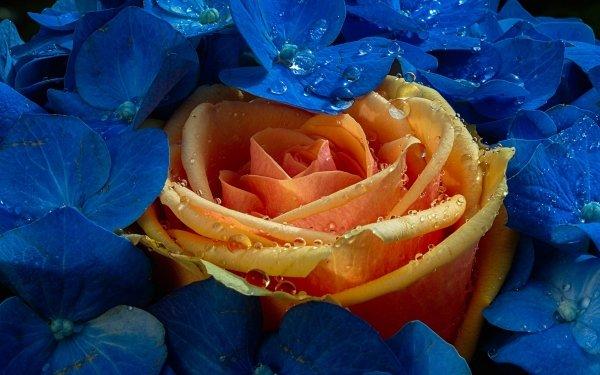 Earth Rose Flowers Flower Orange Flower Blue Flower Water Drop Hydrangea HD Wallpaper | Background Image