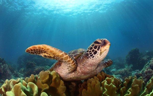 Animal Turtle Sea Life Underwater Coral Sunbeam HD Wallpaper   Background Image