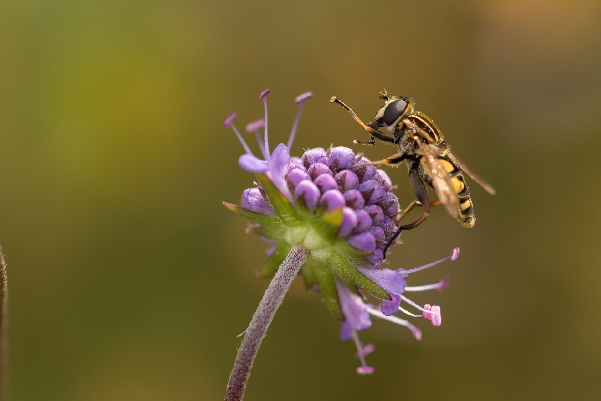 Animal - Hoverfly  Insect Flower Purple Flower Blur Wallpaper