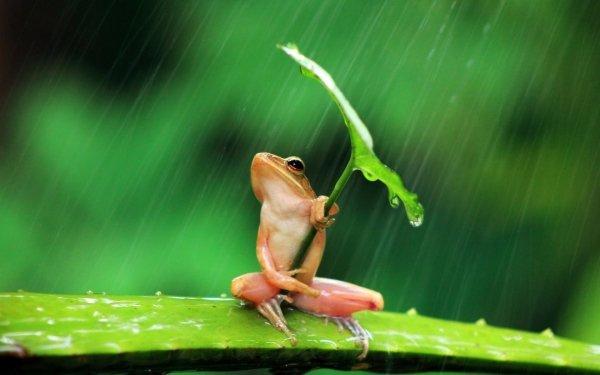 Animal Tree Frog Frogs Frog Leaf Rain Amphibian HD Wallpaper | Background Image
