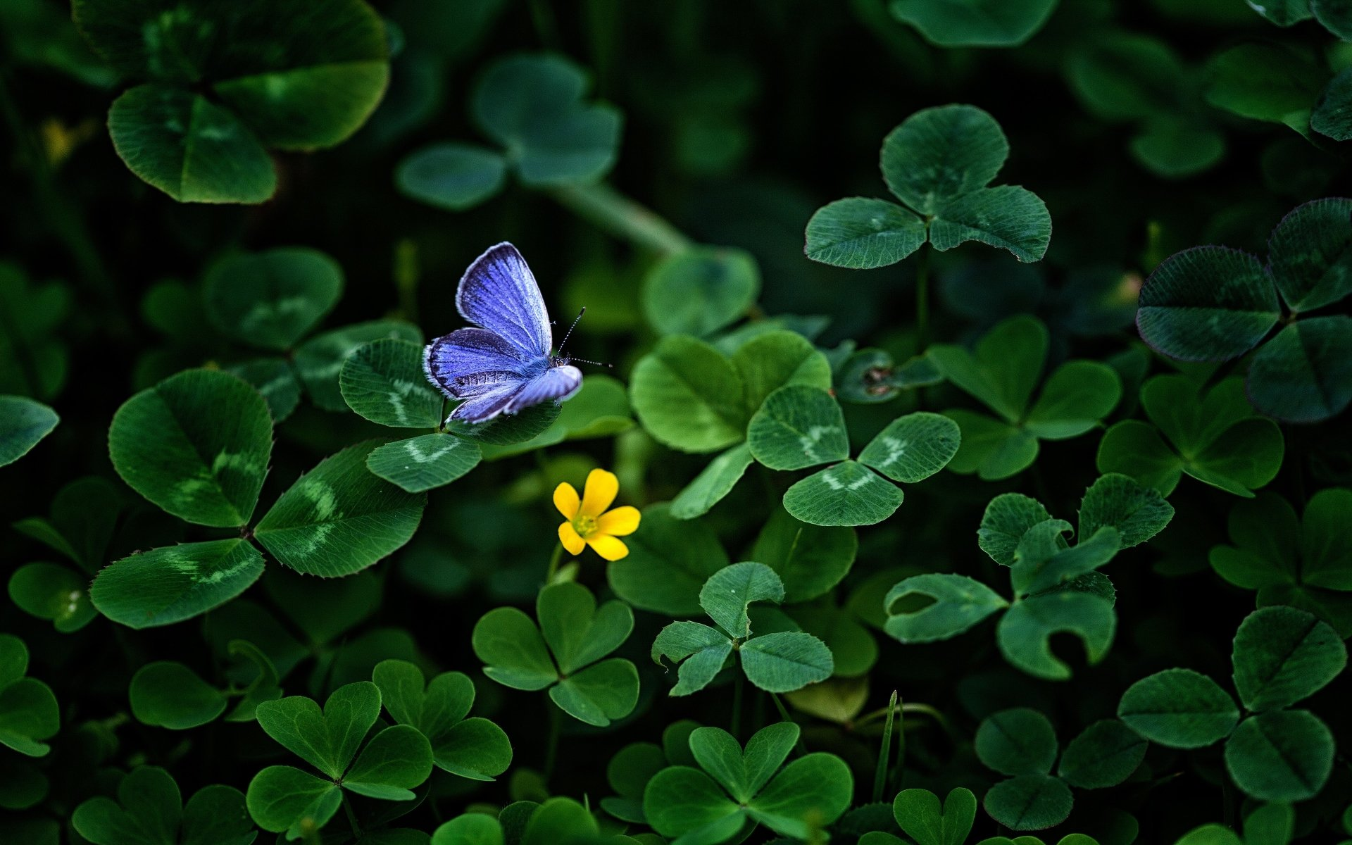 Animal - Butterfly  Animal Blue Clover Wallpaper