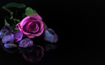 7 Purple Rose HD Wallpapers