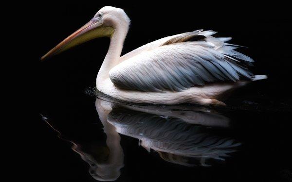 Animal Pelican Birds Pelicans Bird Reflection HD Wallpaper | Background Image
