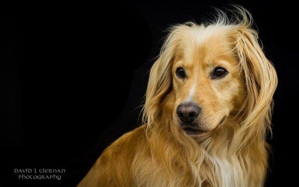 Animaux Chien Chiens Golden Retriever Pet Muzzle Fond d'écran HD | Arrière-Plan