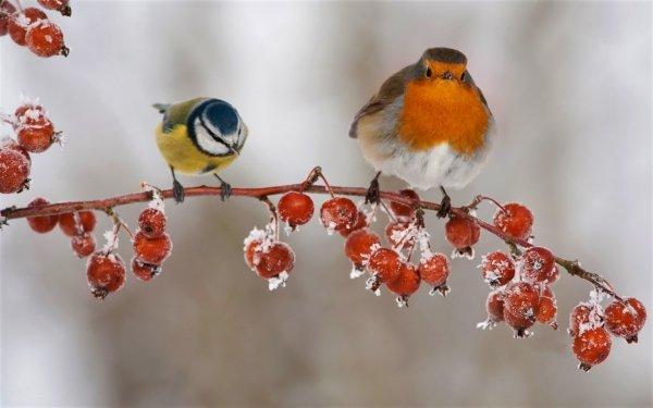 Animal Bird Birds Winter Branch Berry Robin Blue Tit HD Wallpaper   Background Image