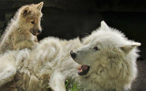 Animal Wolf White Wolf predator Baby Animal HD Wallpaper   Background Image