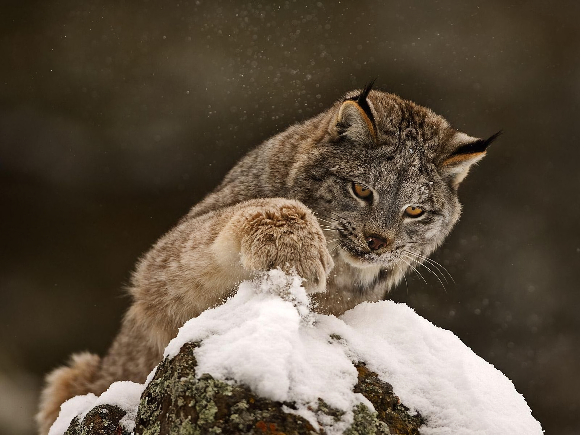 Animal - Lynx  Winter Snow Animal Wallpaper