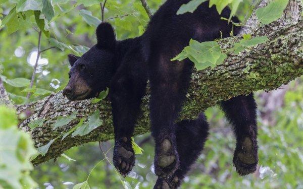 Animal Bear Bears Wildlife Resting predator HD Wallpaper | Background Image