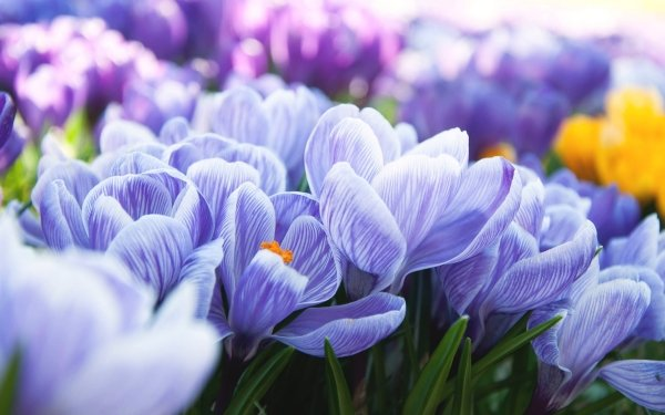 Earth Crocus Flowers Nature Flower Blue Flower Spring Close-Up HD Wallpaper | Background Image
