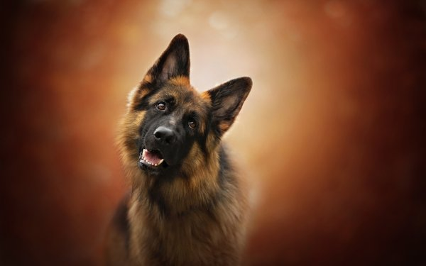Animal German Shepherd Dogs Dog Pet Muzzle HD Wallpaper | Background Image