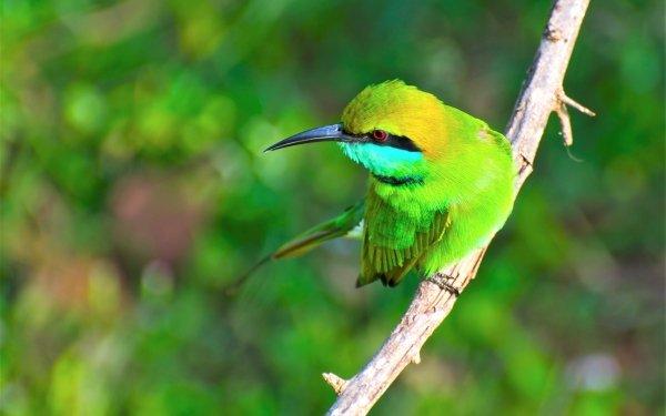 Animal Bee-eater Birds Bee-Eaters Bird Green bee-eater HD Wallpaper | Background Image