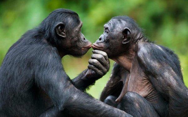 Animal Bonobo Monkeys Ape HD Wallpaper | Background Image