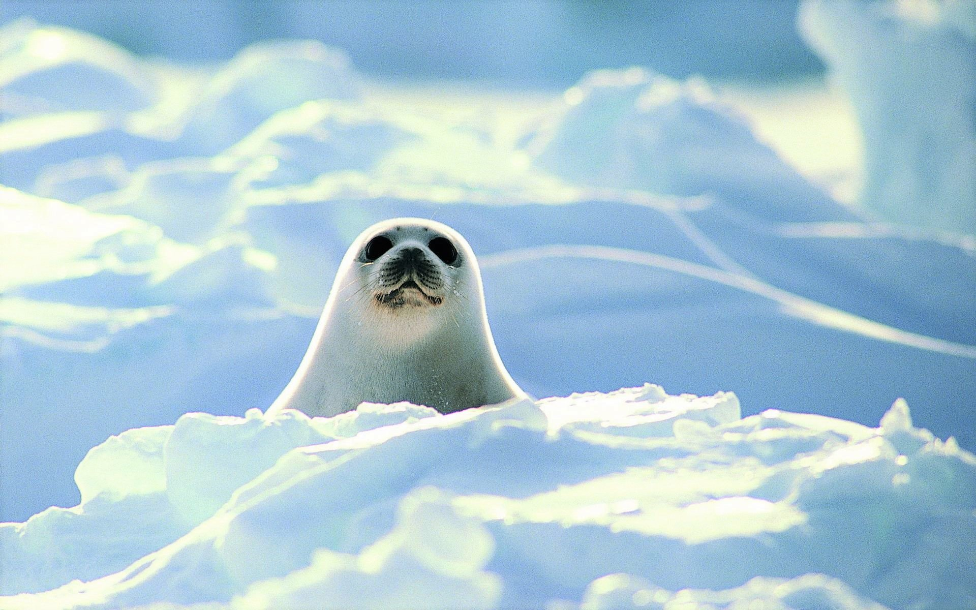 Cute Baby Seals 9361 Hd Wallpapers: Cute Harp Seal Pup HD Wallpaper