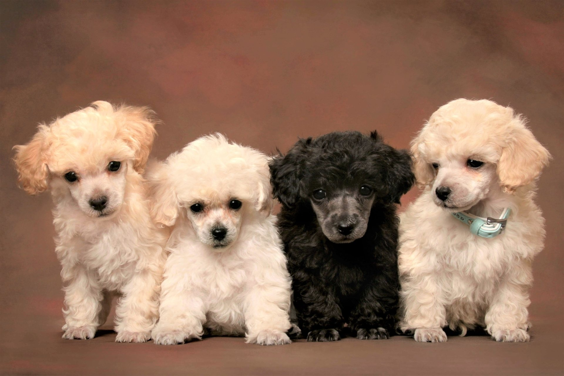 Animal - Poodle  Baby Animal Animal Puppy Cute Wallpaper
