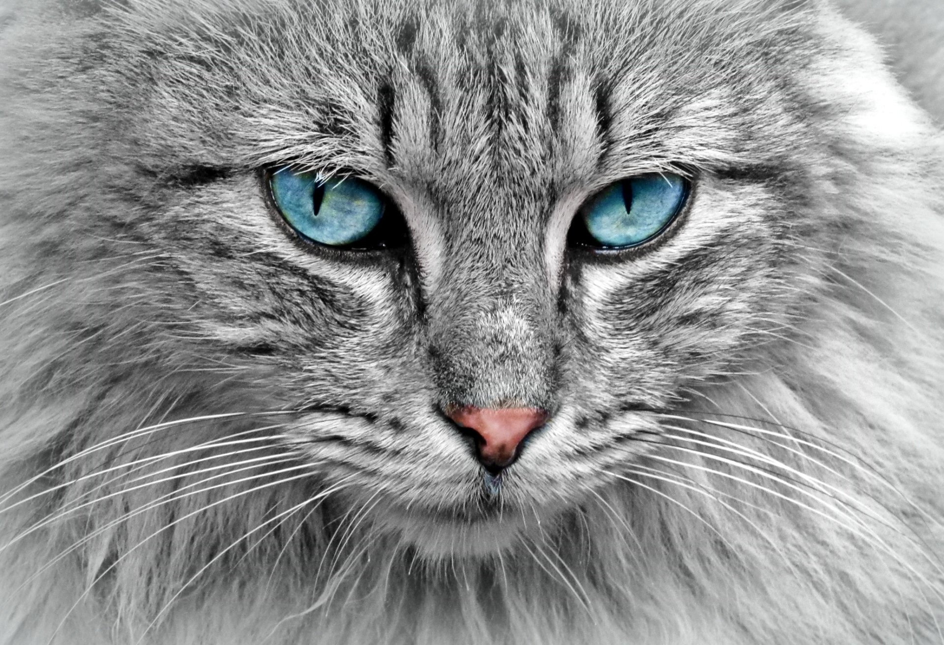 Animal - Cat  Blue Eyes Wallpaper