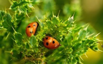 Animal - Ladybug Wallpapers and Backgrounds ID : 88903