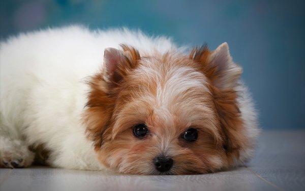 Animal Shih Tzu Dogs Dog Puppy Pet Baby Animal HD Wallpaper   Background Image