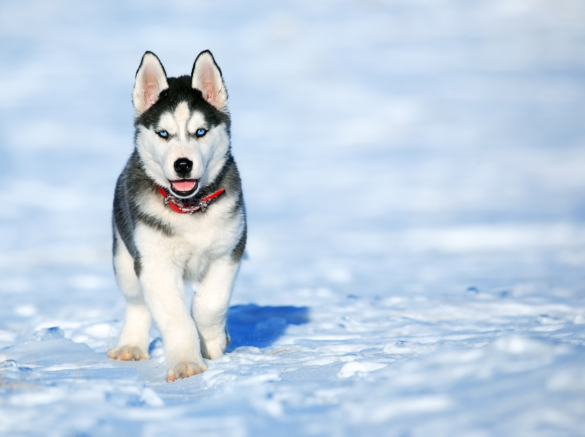 Cute Husky Puppy In The Snow Hd Wallpaper Background Image