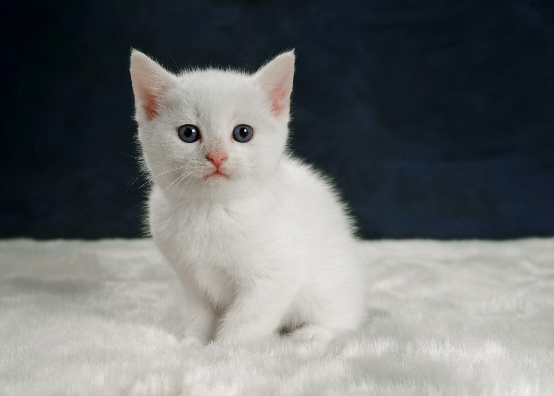Animal - Cat  Pet Baby Animal Kitten Wallpaper